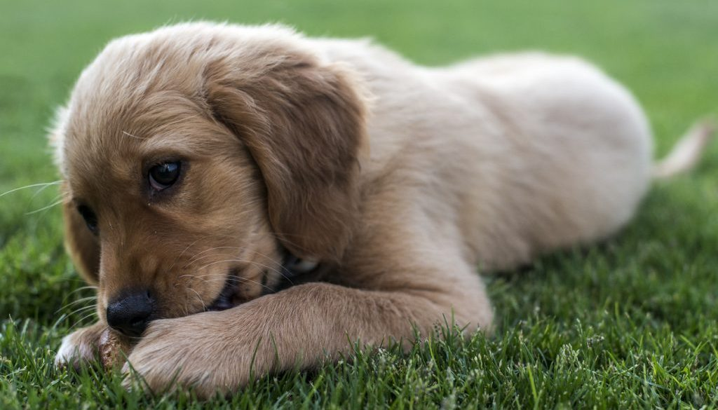 What Should I Look for When I Buy Puppy Food for a Large Breed Dog?